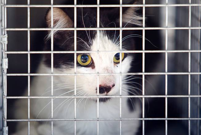 A cat is shown in animal control truck in North Las Vegas Thursday Aug. 14, 2014. North Las Vegas Animal Control officer Dale Smock recently helped clear a house of over 100 cats. The house has since been condemned.