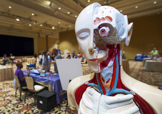 An anatomical model is displayed at a Children's Discovery Museum table during MGM Resorts annual Educator Appreciation Day at the Mirage Thursday Aug. 14, 2014.