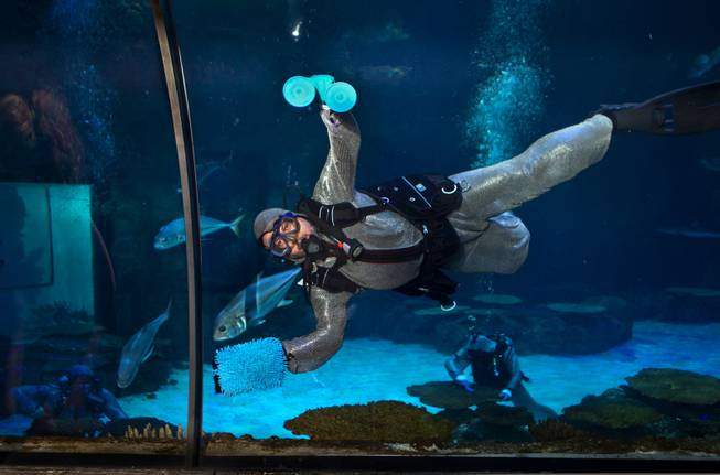 Diver Tim Harsh works to keep the aquarium with shipwreck clean and healthy at Shark Reef in the Mandalay Bay on Tuesday, August 12, 2014.