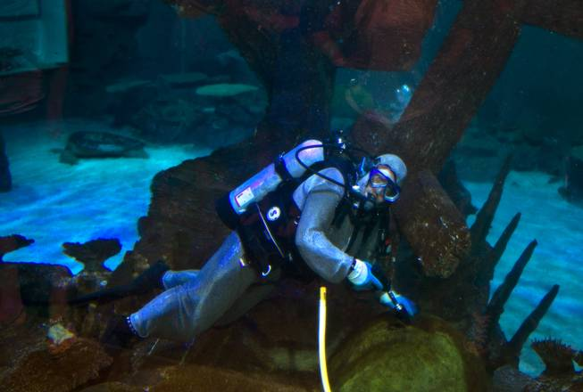 Diver Tim Harsh works to keep the Shipwreck tank clean and healthy with pressure washer at Shark Reef in the Mandalay Bay on Tuesday, August 12, 2014.