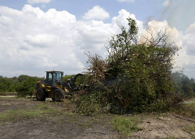 "In this Tuesday, June 17, 2014 photo, citrus trees affected by a disease called ""greening"" are burned in a grove owned by the Hunt Bros. Cooperative in Lake Wales, Fla. The Hunt family owns 5,000-plus acres of groves and is part of the co-op that contributes to Florida's Natural, the third largest juice brand in the country. Florida's $9 billion citrus industry is facing its biggest threat yet by a tiny invasive bug called the Asian Citrus Psyllid, which carries bacteria that are left behind when the psyllid feeds on a citrus tree's leaves."