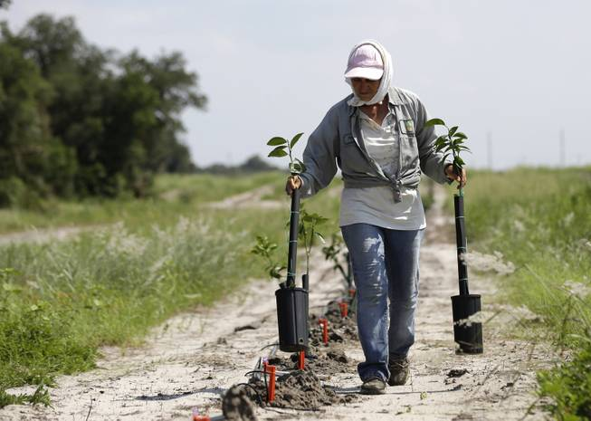 In this Wednesday, July 30, 2014 photo, a worker plants new citrus trees on land owned by the Hunt family in Lake Wales, Fla. The Hunt  family owns 5,000-plus acres of groves and is part of the co-op that contributes to Florida's Natural, the third largest juice brand in the country. Florida's $9 billion citrus industry is facing its biggest threat yet by a tiny invasive bug called the Asian Citrus Psyllid, which carries bacteria that are left behind when the psyllid feeds on a citrus tree's leaves.