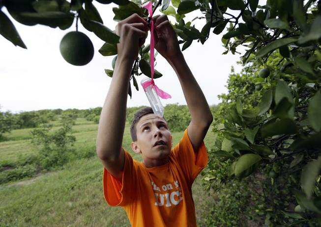 In this Friday, July 25, 2014, photo, Nick Howell, 13, a member of the McLean family who owns Uncle Matt's organic orange juice company, places a vial containing the tamarixia wasp to release in their orange groves in hopes of combating the citrus greening disease, in Clermont, Fla. Florida's $9 billion citrus industry is facing its biggest threat yet by a tiny invasive bug called the Asian Citrus Psyllid, which carries bacteria that are left behind when the psyllid feeds on a citrus tree's leaves.
