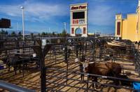 Beyond the gaming tables and past the slot machines at the South Point, crews are carefully watching over a treasure trove. Although it may not smell like it. To their owners and caretakers, the bulls being housed at the resort for ...