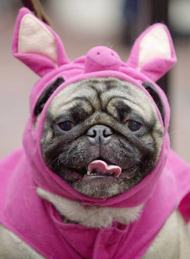 Hercules the Pug dressed up like a pig waits to take the stage during the Halloween Pet Parade and Costume Contest in Coconut Grove, Fla., Sunday, Oct. 28, 2001.  (AP Photo/Amy E. Conn)