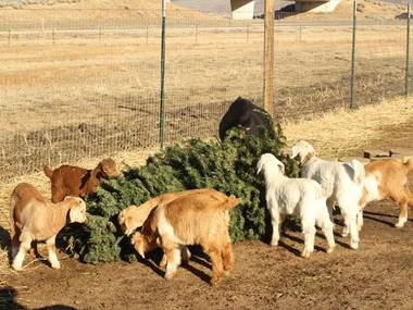 A longtime volunteer firefighter has come up with a new use for his family-owned goat herding business – eating old Christmas trees.