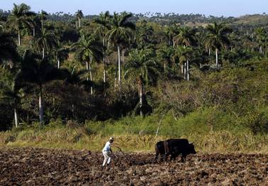 Farmer Antonio Rodriguez, 60, ploughs a field using oxen on unused government land that farmers are allowed to use to grow food and raise livestock on the outskirts of Havana, Cuba, Tuesday, March 3, 2015.