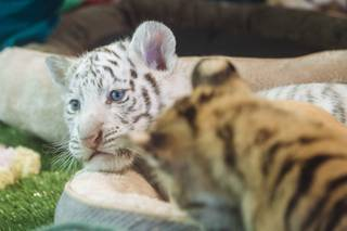 Maharani, a striped white female, was one of four 6-week-old tiger cubs who joined Siegfried & Roy's Secret Garden and Dolphin Habitat on Monday, Sept. 14,2015, at the Mirage.