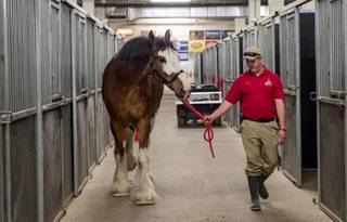 Fez the Budweiser Clydesdale, Dalmatians Chip and Angel and South Point General Manager Ryan Growney on Friday, Jan. 29, 2016, at South Point.