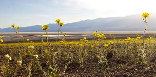 Wildflowers sprout along Badwater Road in Death Valley National Park.