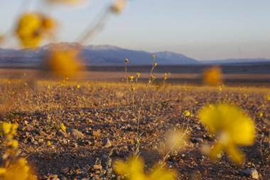 A look at Death Valley's super bloom on March 6, 2016.