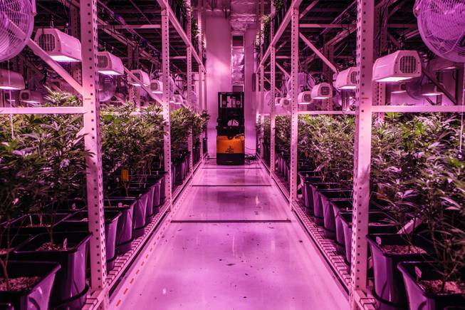 The Energy of Cannabis Cultivation