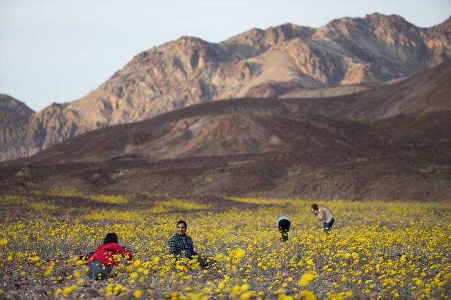 "In this Feb. 24, 2016 photo, tourists take picture of wildflowers near Badwater Basin in Death Valley, Calif. A rare ""super bloom"" of wildflowers in Death Valley National Park covered the hottest and driest place in North America with a carpet of gold, attracting tourists from all over the world and enchanting visitors with a stunning display from nature's paint brush."