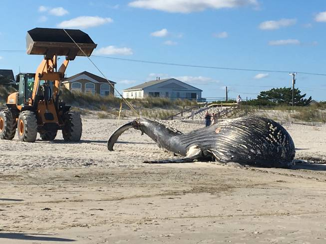 Dead humpback whale found beached in Jersey Shore