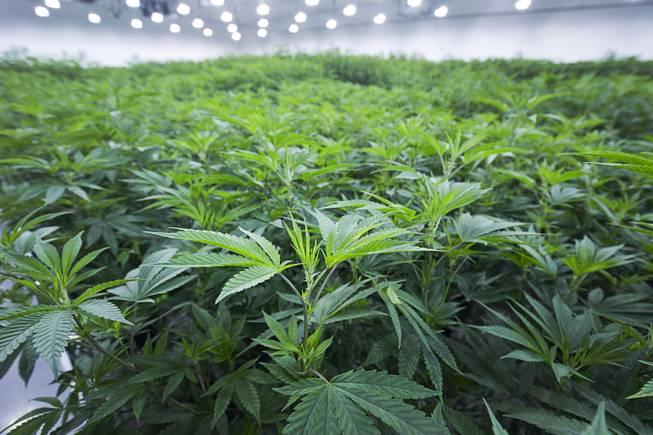 A Disagreement On Marijuana Taxes