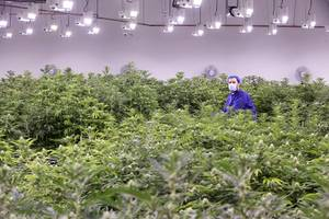 Armen Yemenidjian stands among marijuana plants before a harvest at a Desert Grown Farms Cultivation Facility in Las Vegas, Dec. 15, 2016.