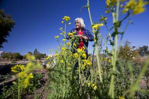 Glenda Bona, chair of the herb committee, pulls out flowering mustard greens in the Master Gardener Herb Garden at the University of Nevada Cooperative Extension, 8050 Paradise Rd., Wednesday, Feb. 22, 2017. .