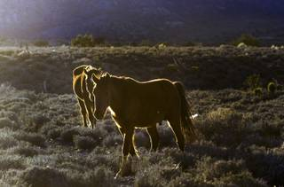 Wild horses wander about the late-day sun within the Spring Mountains area on Tuesday, March 14, 2017, in Las Vegas.