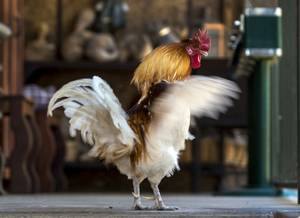 A rooster flaps his wings at The Las Vegas Farm with sale proceeds going to the rescue animals (part of Barn Buddies Rescue), which make up the petting zoo on Tuesday, May 16, 2017.