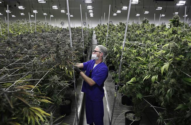 Nevada law makes it illegal to deny job if tested pot positive