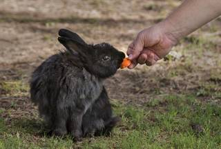 A feral bunny is fed as numerous overrun a Las Vegas facility though have a caring organization to feed them lead by Stacey Taylor at Bunnies Matter Las Vegas on Saturday, July 29 2017.