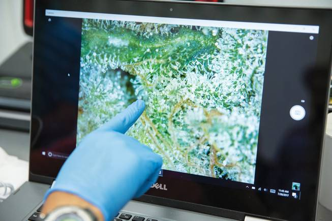 Aaron McCrary inspects one of his various strains of marijuana under a digital microscope.
