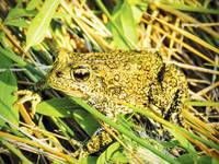 A proposed geothermal project could damage the toad habitat by pumping billions of gallons of water out from an underground reservoir.