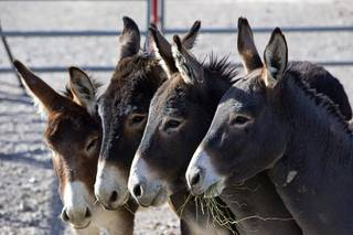 Burros eat alfalfa in a holding corral near U.S. 95 and Highway 160 during a Bureau of Land Management burro gather Wednesday, Dec. 20, 2017. So far, the BLM has gathered 39 feral burros. The gather was prompted by an increasing number of accidents involving burros and vehicles near Pahrump and also to burros causing private property damage, officials said.