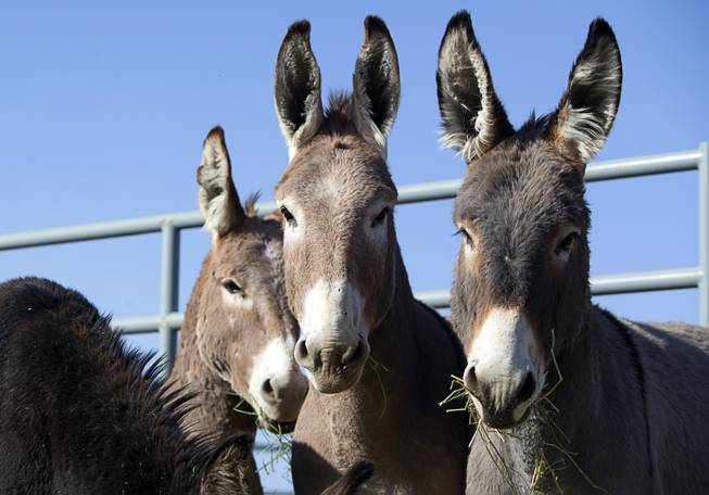 Burro Gather near Pahrump