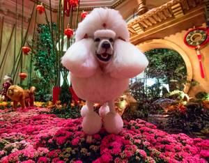 Year of the Dog at Bellagio Conservatory