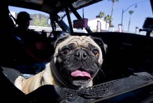 Dogs, Kids and Trucks: Mint 400 Event on East Fremont