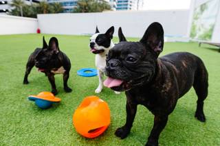 Dogs play in the backyard area at Pawsh Palace, a luxury dog day care near the Strip, Tuesday, March 5, 2019.