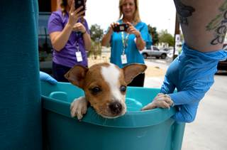 A Chihuahua puppy peeks out of a tub at the Animal Foundation Tuesday, June 25, 2019. The puppies were among 42 puppies brought to the Animal Foundation on Friday after being found by Metro Police during an investigation.