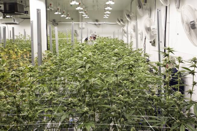 Employees prune marijuana plants during a tour at the Premium Produce marijuana cultivation and production facility Friday, July 26, 2019.