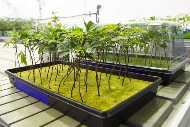 Marijuana plant seedlings are seen in a cultivation room during a tour at the Premium Produce marijuana cultivation and production facility Friday, July 26, 2019.