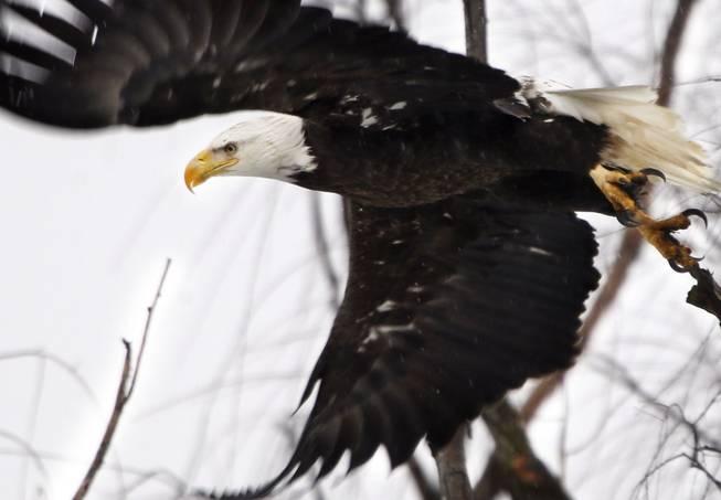 U S  government weakens application of Endangered Species Act - Las
