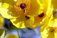 "A rare Nevada bee with declining population could be granted protection under the Endangered Species Act by the U.S. Fish and Wildlife Service. This marks an ""extremely important hurdle"" for the Mojave poppy bee ..."