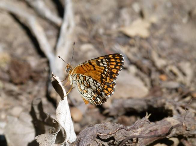 Acastus Checkerspot butterfly