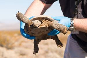 Desert Tortoise Released into the Wild